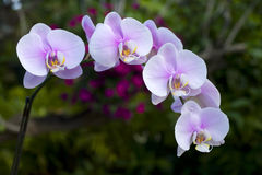 Pink phalaenopsis orchid Royalty Free Stock Photography