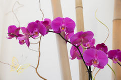 Pink phalaenopsis orchid between bamboo cane Royalty Free Stock Photos