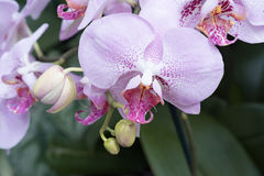 Pink phalaenopsis orchid. Pink phalaenopsis blooming in the garden Stock Images