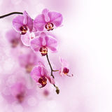Pink phalaenopsis orchid, blurred bokeh Royalty Free Stock Images