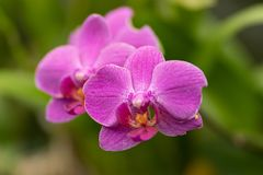 Pink phalaenopsis, pink orchid close up in soft focus stock images