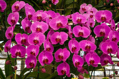 Pink phalaenopsis orchid flower. Beautiful pink phalaenopsis orchid flower background Royalty Free Stock Photo