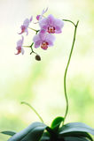 Pink phalaenopsis orchid flower branch Stock Photo