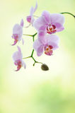 Pink phalaenopsis orchid flower branch Stock Photography