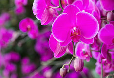 Pink phalaenopsis orchid flower Royalty Free Stock Image