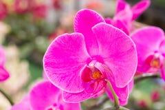 Pink phalaenopsis orchid flower Stock Image