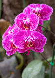 Pink phalaenopsis orchid flower Royalty Free Stock Photo