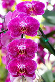 Pink phalaenopsis orchid flower Stock Photography