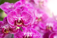 Pink phalaenopsis orchid flower Stock Photos