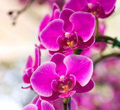 Pink phalaenopsis orchid flower Royalty Free Stock Photos