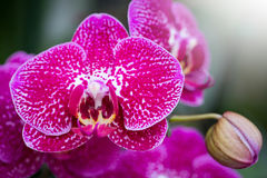 Pink phalaenopsis orchid flower Royalty Free Stock Images