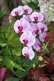 Pink phalaenopsis orchid in garden Stock Photos