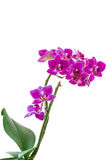 Pink phalaenopsis orchid. Small Flowers pink phalaenopsis orchid on a branch isolated Stock Photography