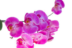Pink phalaenopsis orchid on a white background. Photographed close-up Royalty Free Stock Photography