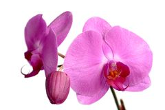 Pink Phalaenopsis, Orchidee Royalty Free Stock Photo