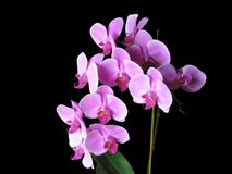 Pink Phalaenopsis Orchids Royalty Free Stock Photography