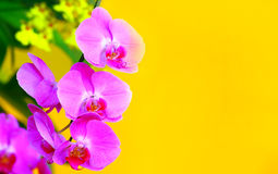 Pink phalaenopsis orchids with copy space Stock Image