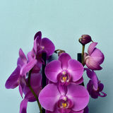 Pink Phalaenopsis orchids. Some pink Phalaenopsis orchids on a blue background Stock Photo