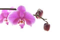 Pink phalaenosis orchid stem isolated on white Royalty Free Stock Image