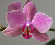 Pink Phaleonopsis orchid close-up. Pink orchid bloom close-up against a purple-gray background royalty free stock photography