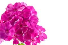 Pink phlox Stock Photos