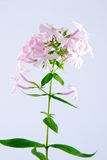 Pink phlox Stock Photos