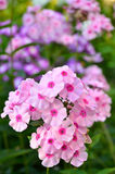 Pink phlox Stock Photo