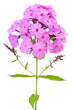 Pink phlox Stock Images