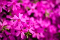 Pink Phlox Stock Photo