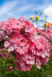 Pink phlox on a background of blue sky Stock Photo