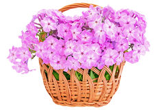 Pink phlox in the basket Stock Photography