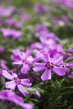 Pink Phlox, blossoming spring flowers. Creeping Phlox Royalty Free Stock Images