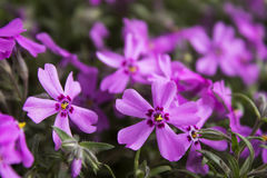 Pink Phlox, blossoming spring flowers. Creeping Phlox Stock Photos