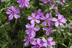 Pink Phlox, blossoming spring flowers. Creeping Phlox Royalty Free Stock Images