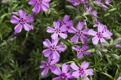 Pink Phlox, blossoming spring flowers. Creeping Phlox Royalty Free Stock Image