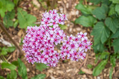 Pink Phlox Blossoms Stock Image