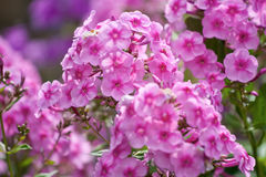 Pink phlox stock photography