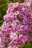 Pink phlox Stock Image