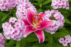 Pink phlox and fire lily blossoms Stock Photos
