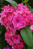 Pink phlox flower. Close-up Stock Images