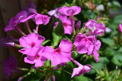Pink Phlox flower bloom burst. Multiple pink phlox flower bloom bursts Stock Image
