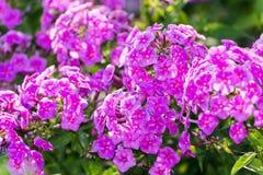 Pink Phlox flower - genus of flowering herbaceous Royalty Free Stock Images