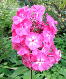Pink phlox flower Royalty Free Stock Images