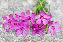 Pink Phlox Flower Royalty Free Stock Photo