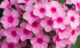 Pink phlox flowers Stock Photo