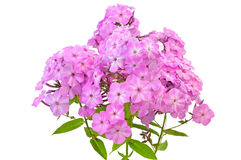 Pink phlox flowers Stock Images