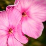 Pink phlox. Phlox  pink flowers close up Stock Image