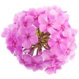 Pink phlox flowers Royalty Free Stock Photo