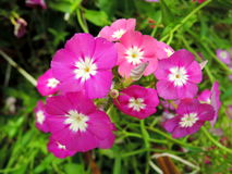 Pink Phlox flowers Royalty Free Stock Photos