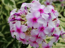 Pink phlox flowers in the garden. This is flowers of phlox. It is theme of seasons. Stock Photo